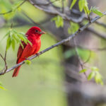 Summer Tanager John Huse