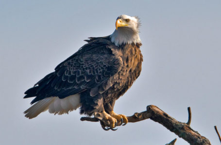 The Majestic Eagle by nature photographer John L. Craig